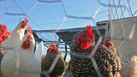 Faut-il craindre un retour de la grippe aviaire ?